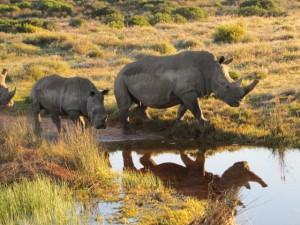 Safari- Rhino