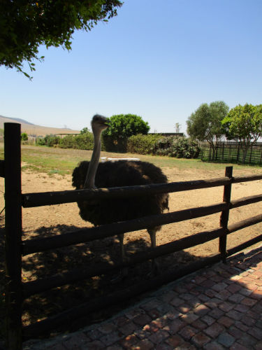 This Ostrich farm gives our EC Cape Town students a real feel for  the animals