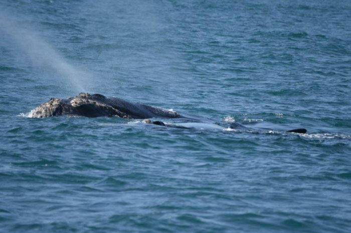 Whale watching happens at Hermanus, which is a beautiful drive from EC Cape Town