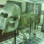 Elephant bones in Ghar Dalam