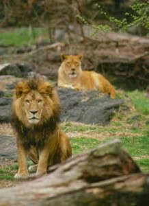 Lions at the Bronx Zoo