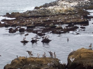 Pelicans at State Beach on Highway One (photo by Patricia Leslie, artist / author)