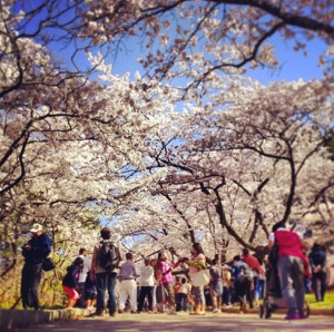 201356-high-park-cherry-blossoms