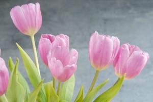 tulips-1352561_1920-r50