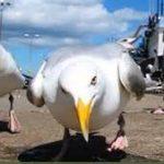Seagull Attack EC Brighton