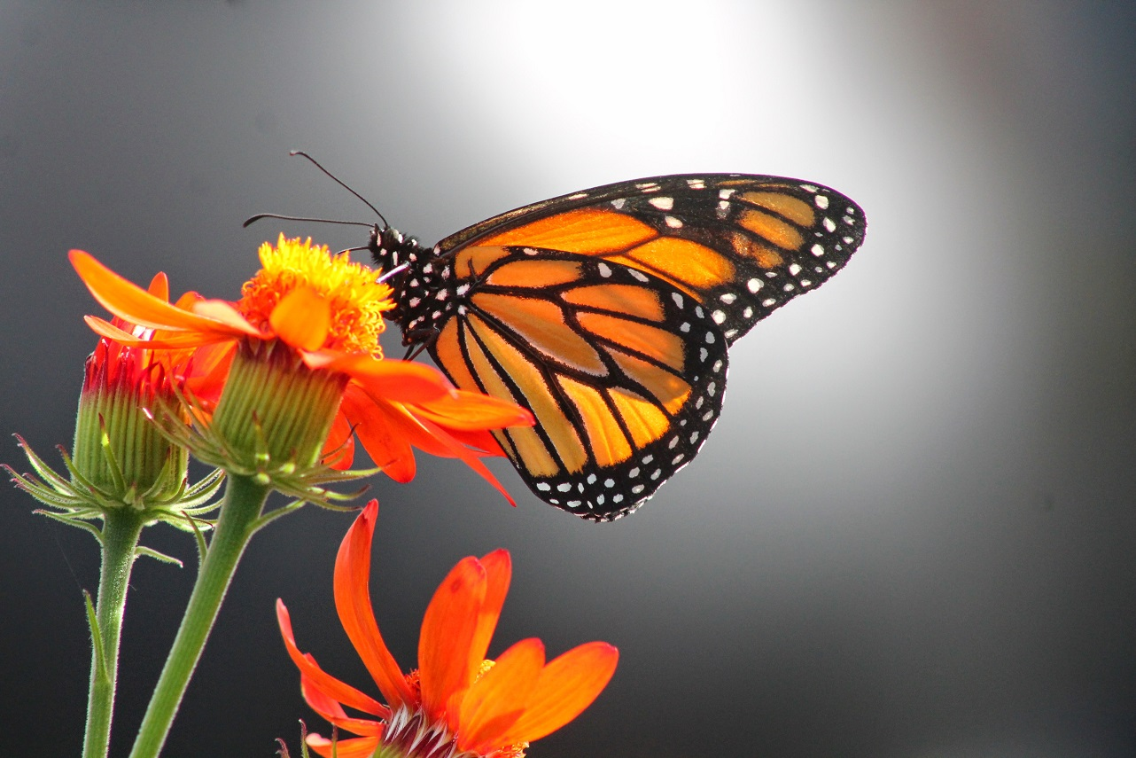 The Annual Butterflies Go Free Exhibit Is Back Next Week Ec Montreal Blog