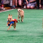 Chihuahuas Racing