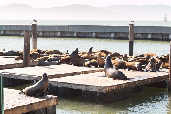 Leões-marinhos no Pier 39