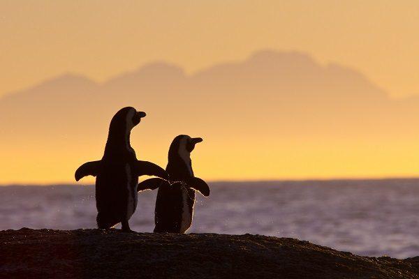 Pinguins na Cidade de Cabo