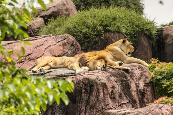 Lions resting in sun