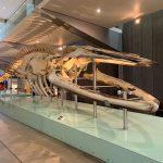 Whale Skeleton Melbourne Musuem